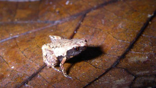 Mini mum vive em folhas em decomposição, ao longo da costa leste de Madagáscar.