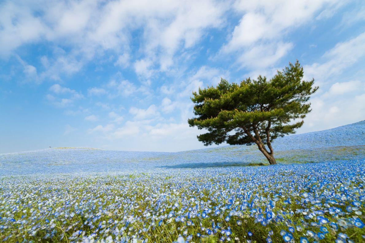 Árvore num campo de flores azuis