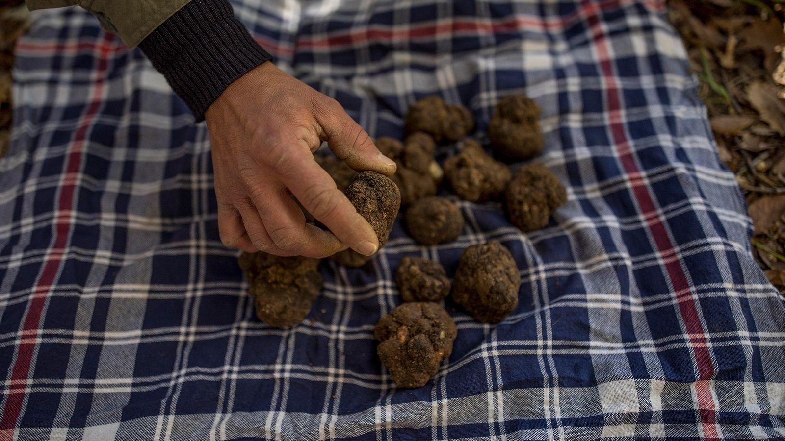 As trufas negras são apreciadas em todo o mundo pelo seu aroma e sabor. Mas as ...