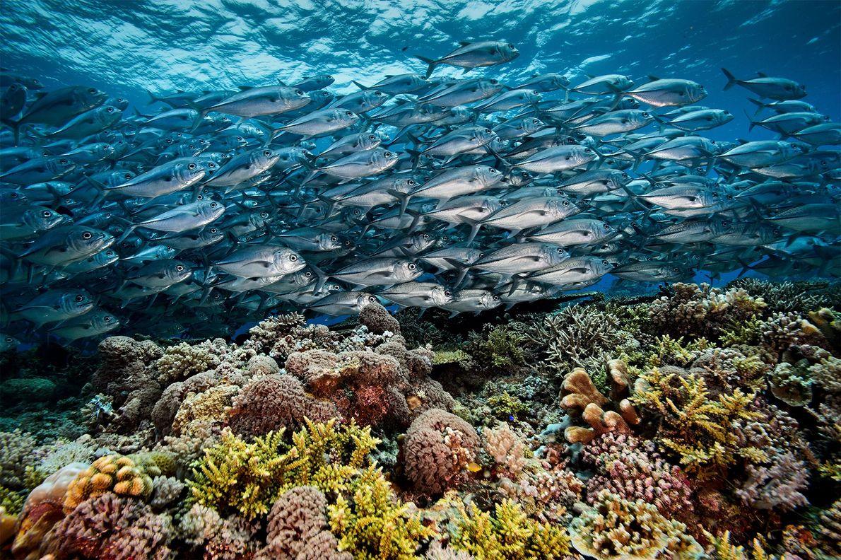 Um cardume de xaréus flui como um rio prateado sobre um prado de coral no Atol ...