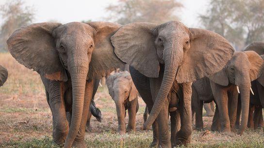 Um raro traço genético que faz com que os elefantes nasçam sem presas fez com que ...