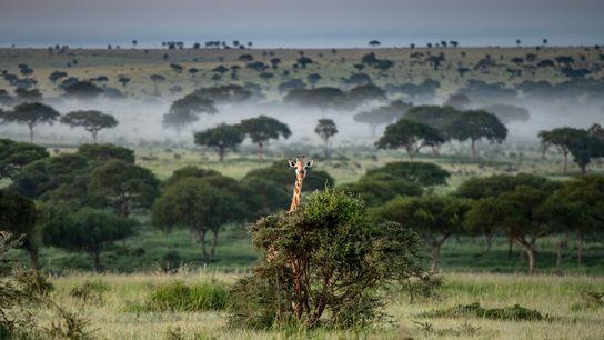 O Parque Nacional Murchison Falls é um reduto para as girafas que restam no Uganda. A ...