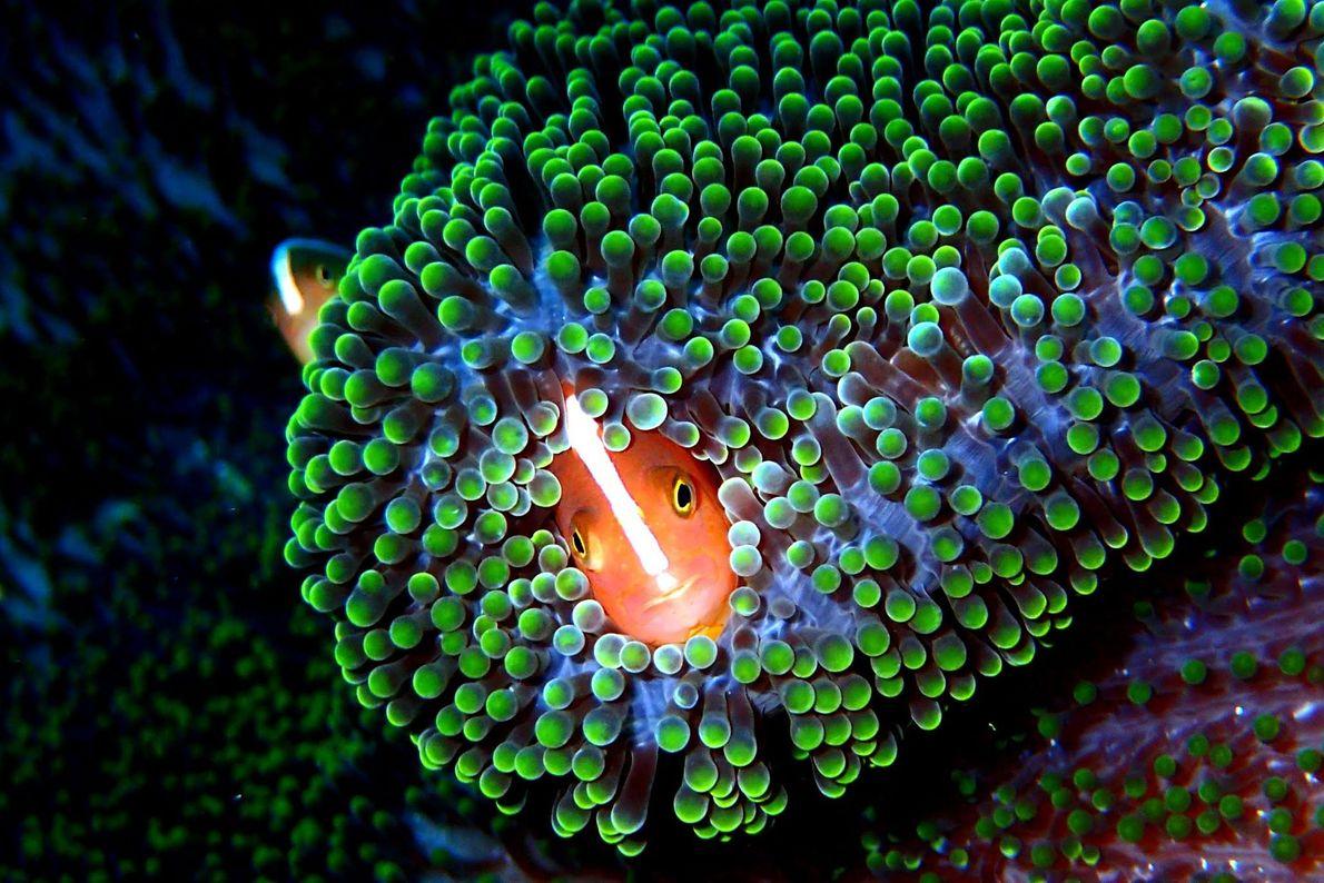 Amphiprion sandaracinos, uma espécie de peixe-palhaço