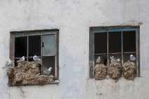 Gaivotas-tridáctilas instaladas numa casa de uma cidade norueguesa. Uma combinação de fatores está a fazer com ...