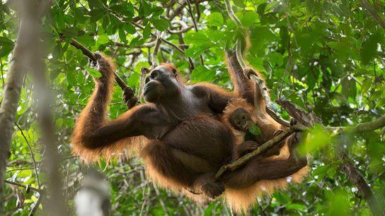 Um orangotango do Bornéu.