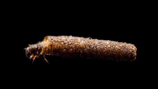 Uma mosca-de-água usa a sua carapaça numa fotografia tirada em estúdio.