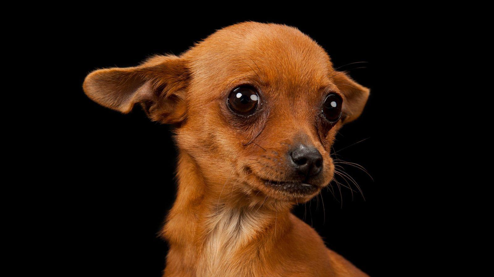 Cinny, um chihuahua com três meses, posa para a fotografia.