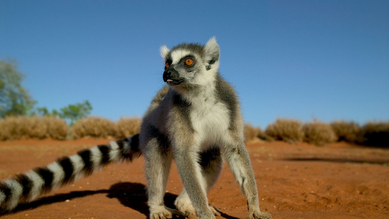 Um macho de lémure-de-cauda-anelada.