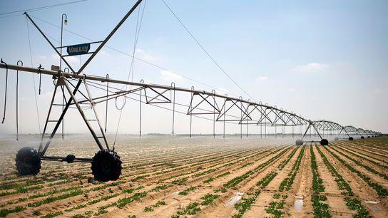 Uma enorme máquina automatizada de irrigação move-se lentamente sobre uma plantação de batatas, em terras recuperadas ...