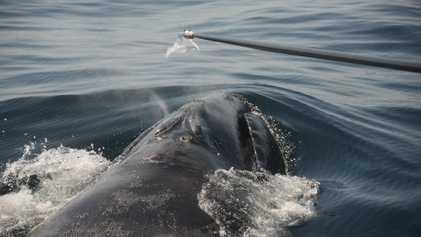 Como Podemos Estudar as Baleias Ameaçadas de Extinção? Através das Secreções Nasais.