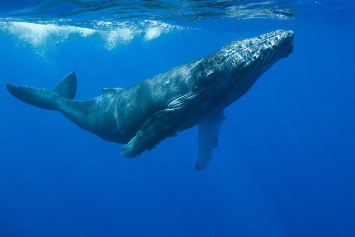 Quantificar as hormonas do stress em grandes baleias, como é o caso desta baleia-de-bossa, é extraordinariamente ...