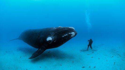 Animais Fascinantes: Fotografias de Baleias à Volta do Mundo