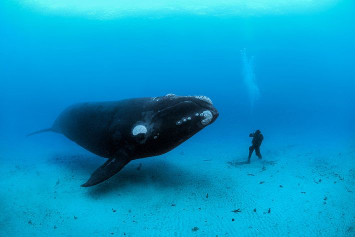 Uma baleia-franca-do-Atlântico-Norte encontra um mergulhador no fundo do mar.