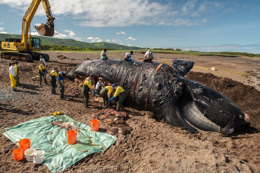 """Investigadores fazem uma necropsia a """"Punctuation"""", uma baleia-franca-do-atlântico-norte que deve o seu nome às cicatrizes que ..."""