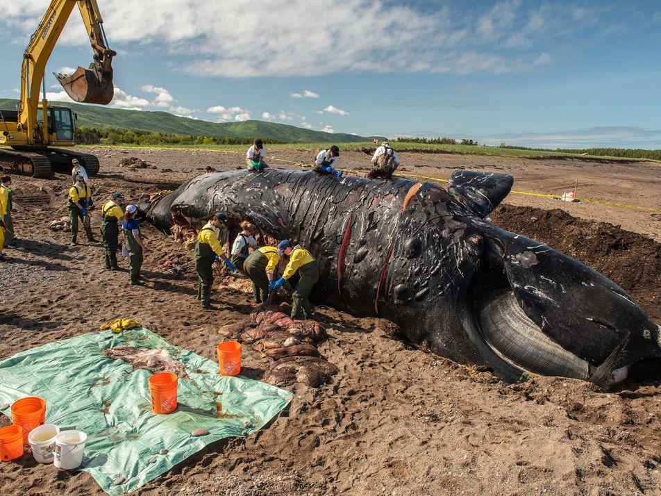 6 Mortes Recentes Aproximam Baleias Raras da Extinção