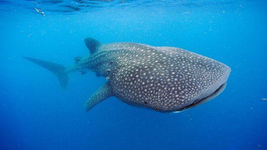 Um tubarão-baleia a nadar ao largo da Península de Yucatán. Estes gigantes oceânicos podem pesar mais ...