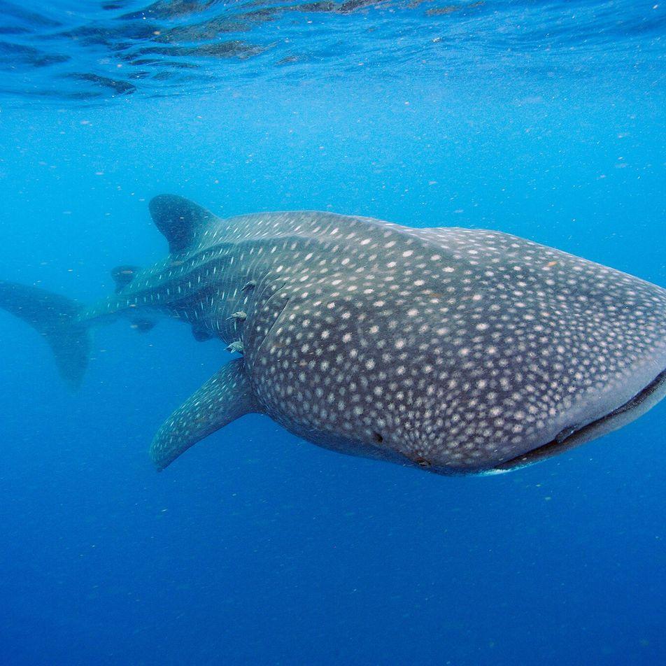 Tubarões-Baleia Podem Viver Até aos 100 Anos