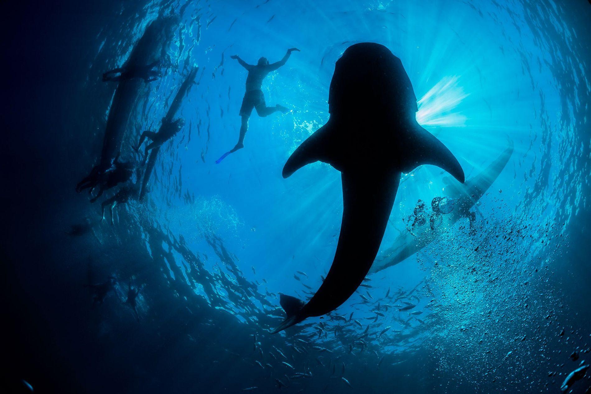 Um tubarão-baleia.