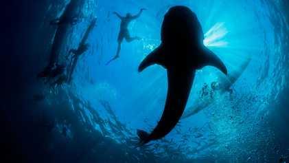 No Mundo Caótico do Turismo do Tubarão-Baleia