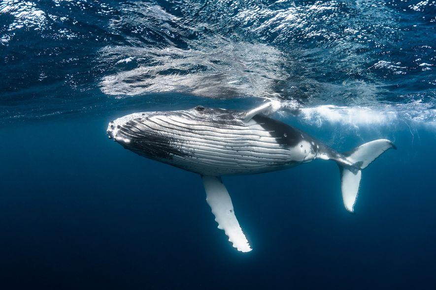 Esta jovem-baleia jubarte, com a sua capacidade de capturar carbono e de o afundar no fundo ...