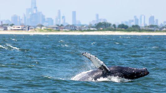 Cada Vez Há Mais Baleias no Porto de Nova Iorque. Porquê?