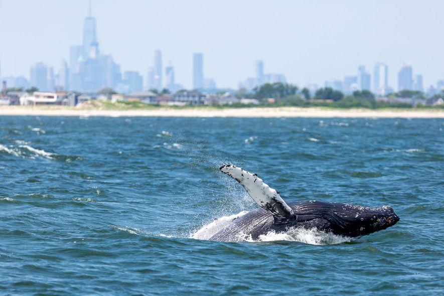 Uma baleia-jubarte a vir à superfície no porto de Nova Iorque, com a cidade na linha ...