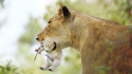 Cria de leão branco com a sua progenitora