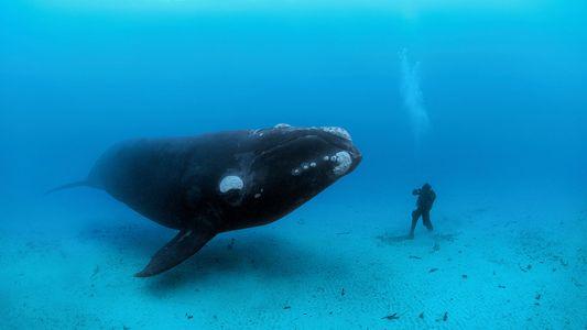 Porque É Que as Baleias São Tão Grandes? A Ciência Pode Ter Uma Resposta.