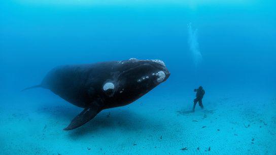 baleia aproxima-se de mergulhador