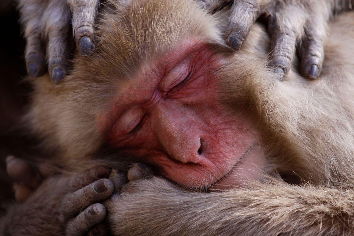 Macaco-japonês. Japão.