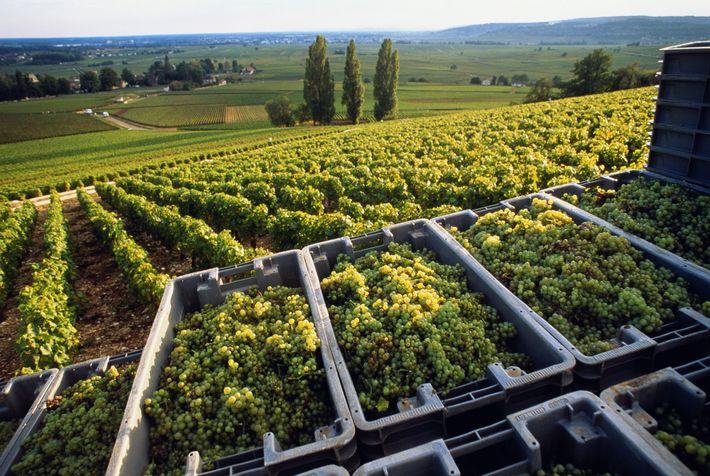 Na Borgonha, a uvas Chardonnay são colhidas com várias semanas de antecedência relativamente ao que acontecia ...