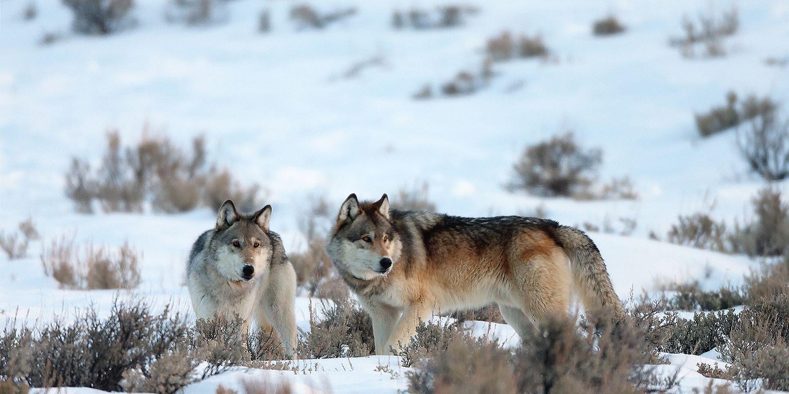 O Lobo-Cinzento Ainda Está Ameaçado? Depende a Quem Pergunta.