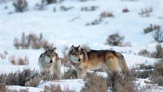 Dois lobos-cinzentos na neve, no Parque Nacional de Yellowstone.