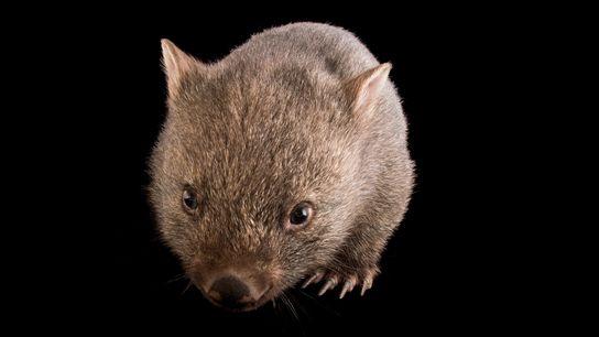 Um vombate-comum jovem (Vombatus ursinus tasmaniensus) no Santuário de Healesville. Estes animais produzem um dos dejetos ...