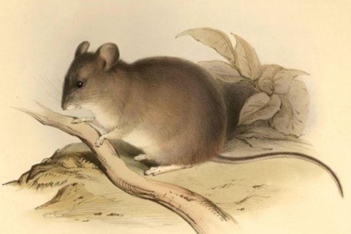 O rato 'Phyllotis xanthopygus' tem um alcance de elevação de mais de 6.700 metros, o maior ...