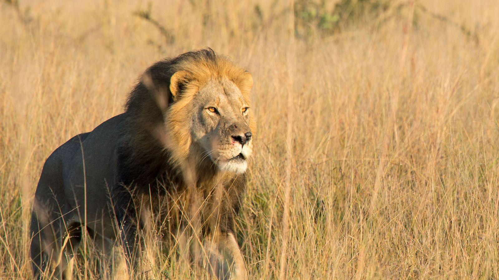 Xanda, Filho de Cecil, o Leão