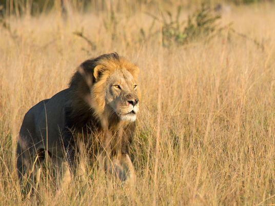 Cecil, o Famoso Leão