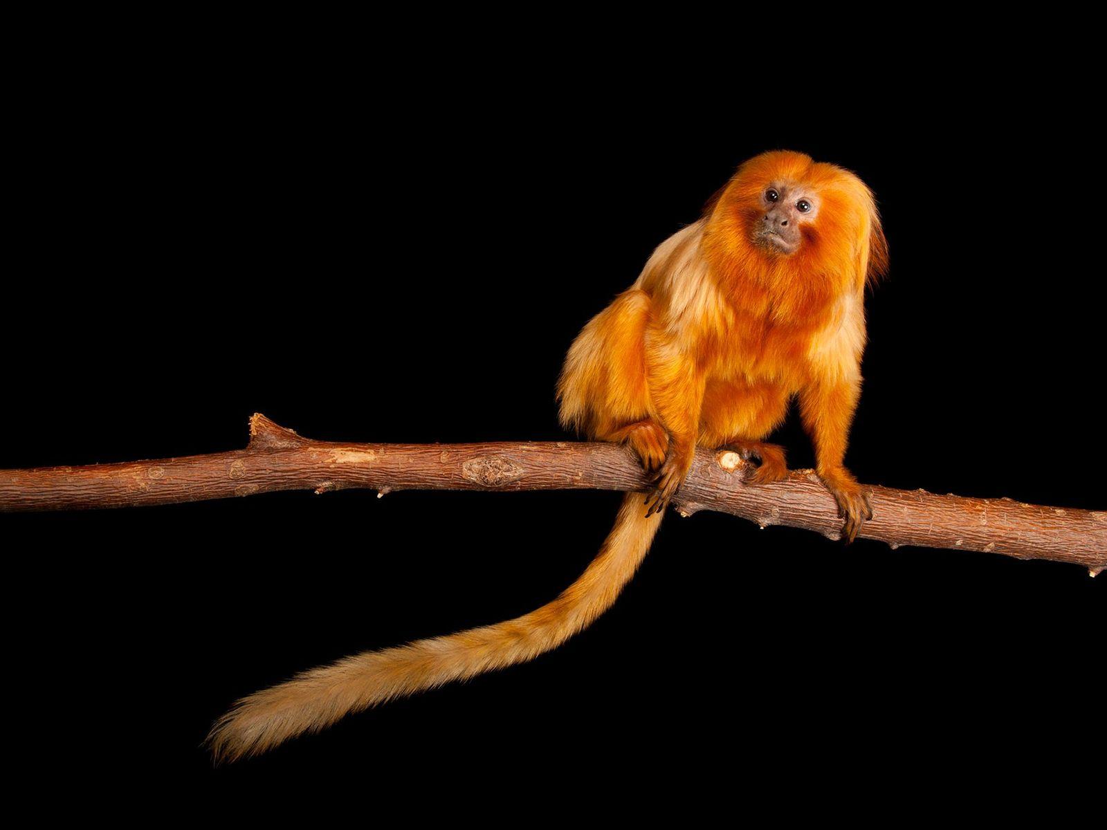 Micos-leões-dourados, pequenos primatas ameaçados