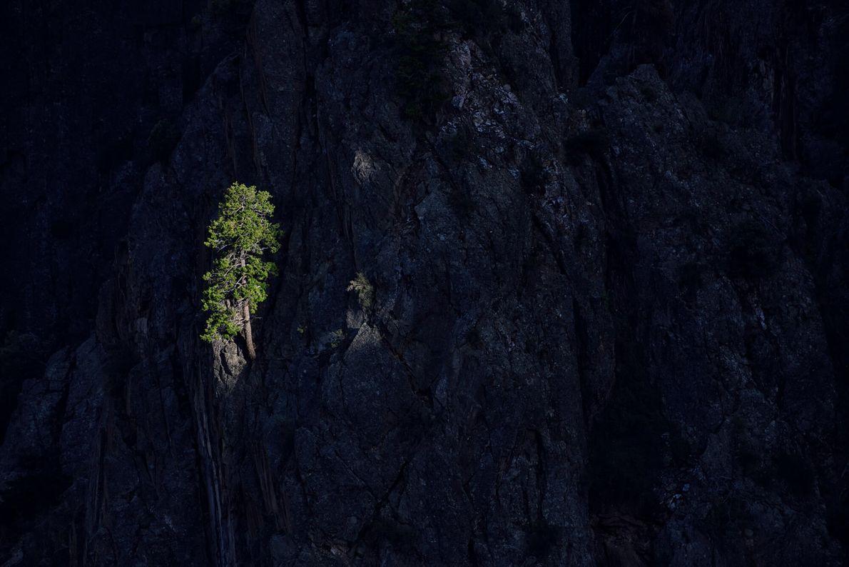 As árvores de zimbro estão bem adaptadas às condições adversas e rochosas de Black Canyon. Estas ...