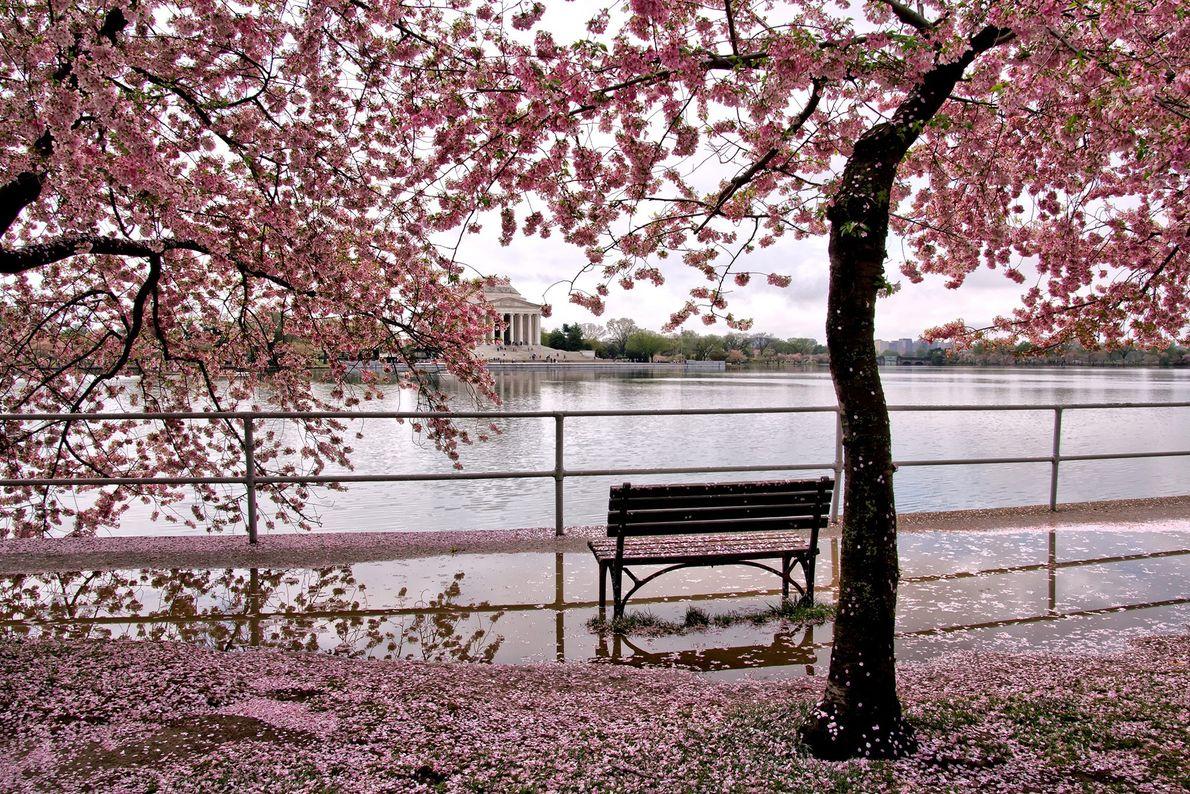 Washington tem 12 variedades diferentes de cerejeiras ornamentais, ou em floração, em torno da Tidal Basin, ...