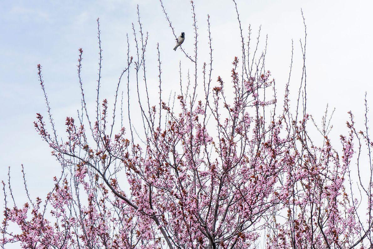 A cidade de Nova Iorque dá as boas-vindas à primavera com o regresso das suas aves ...