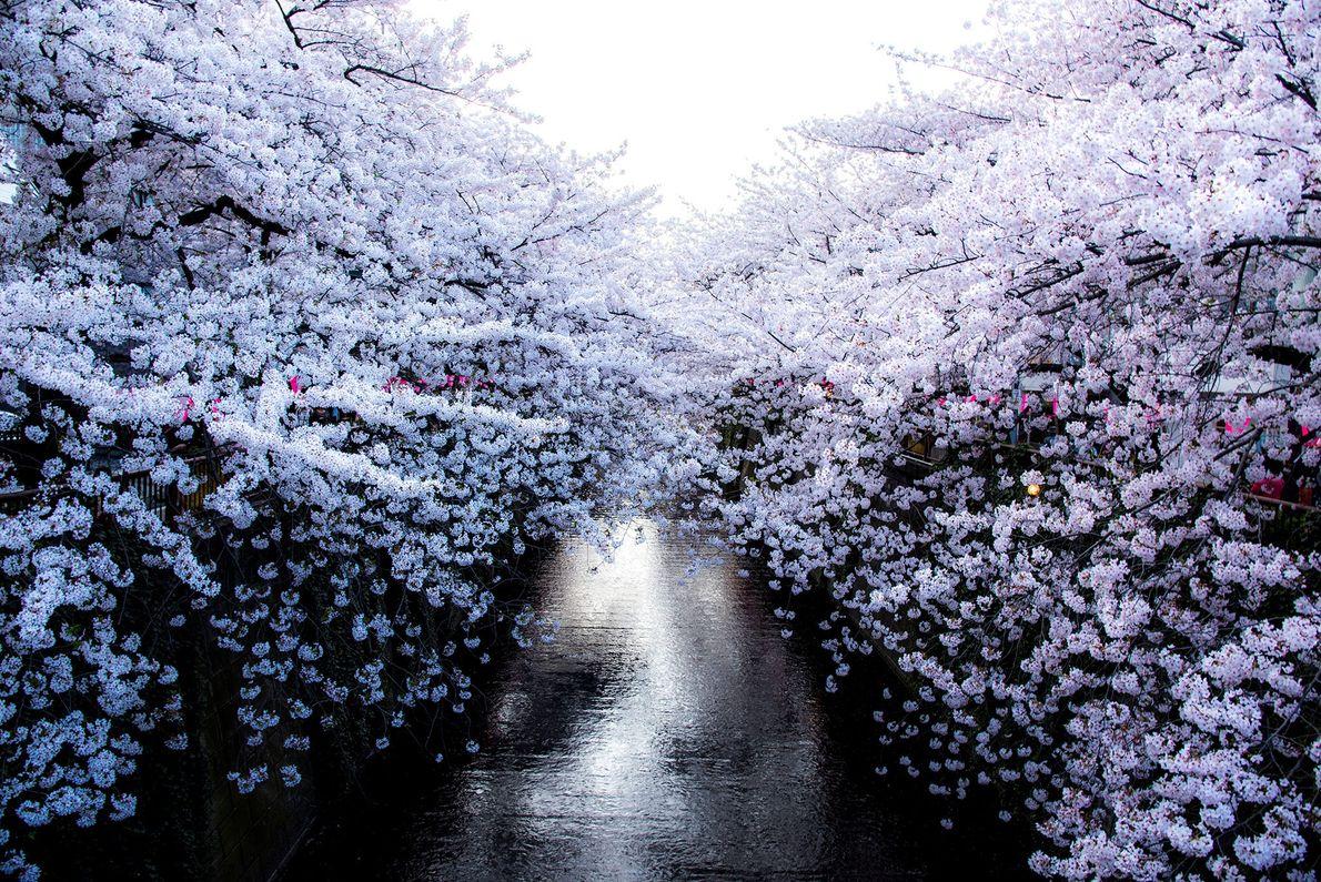 Antes da flor de cerejeira ser celebrada no Japão, a sua irmã flor, a flor de ...
