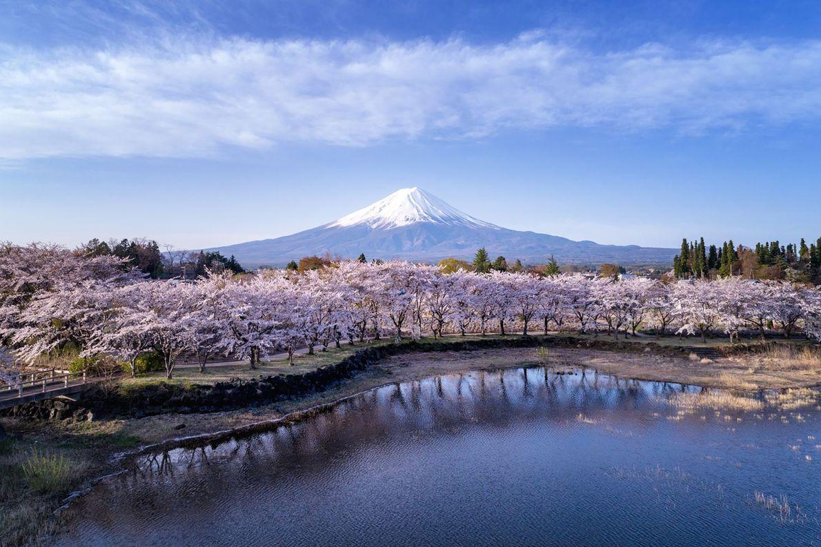 Captando três forças da natureza concorrentes, Watanabe cria uma paisagem etérea do Lago Kawaguchi, das flores ...