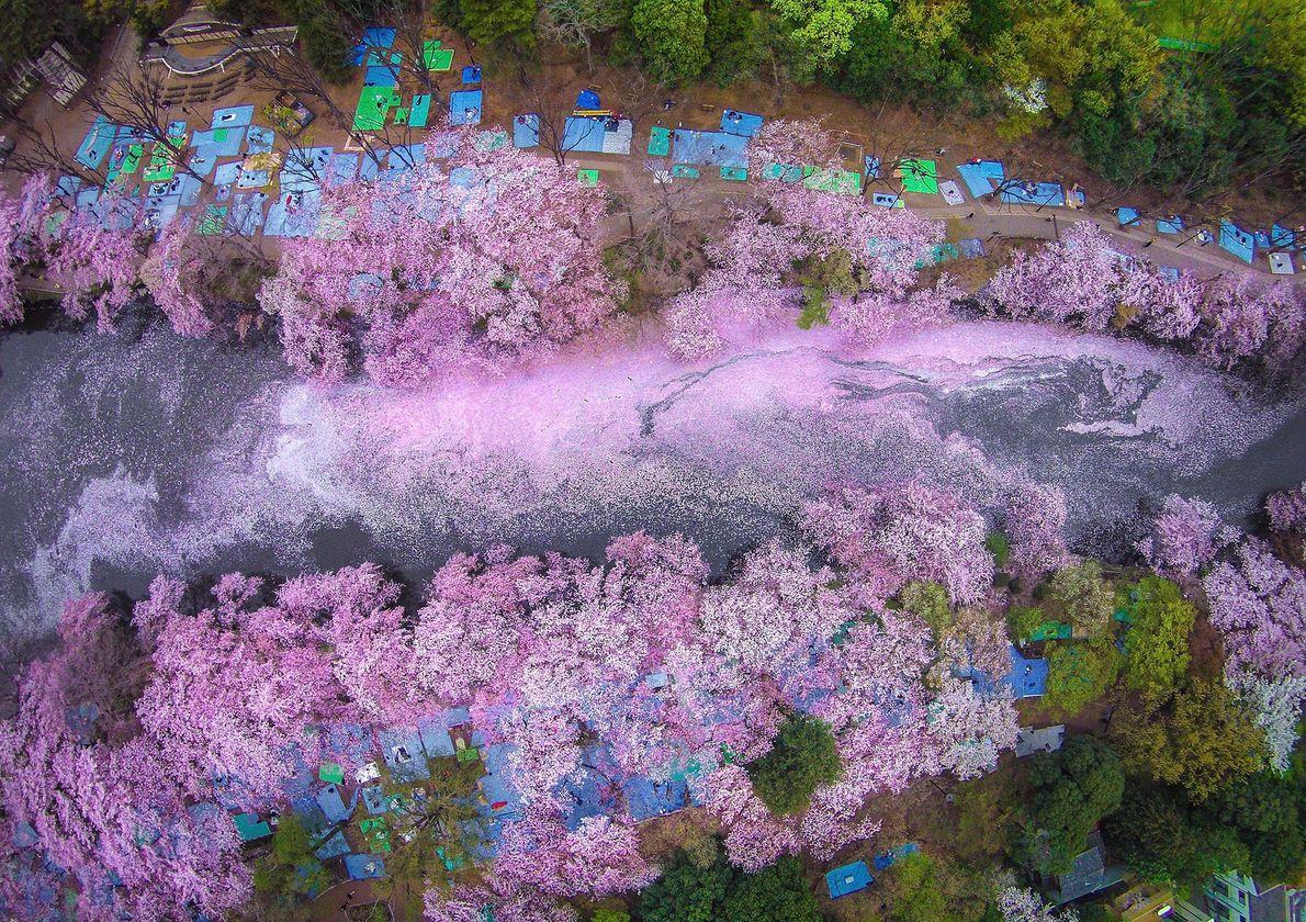 Captando a beleza momentânea das flores, a foto aérea de Dungo do Parque Inokashira dá um ...