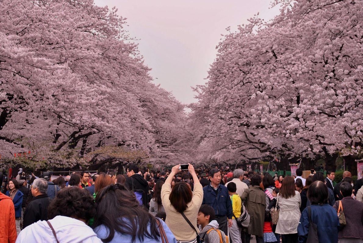 Habitantes locais e viajantes dirigindo-se para o Parque Ueno, para vislumbrar as belas cerejeiras em plena ...