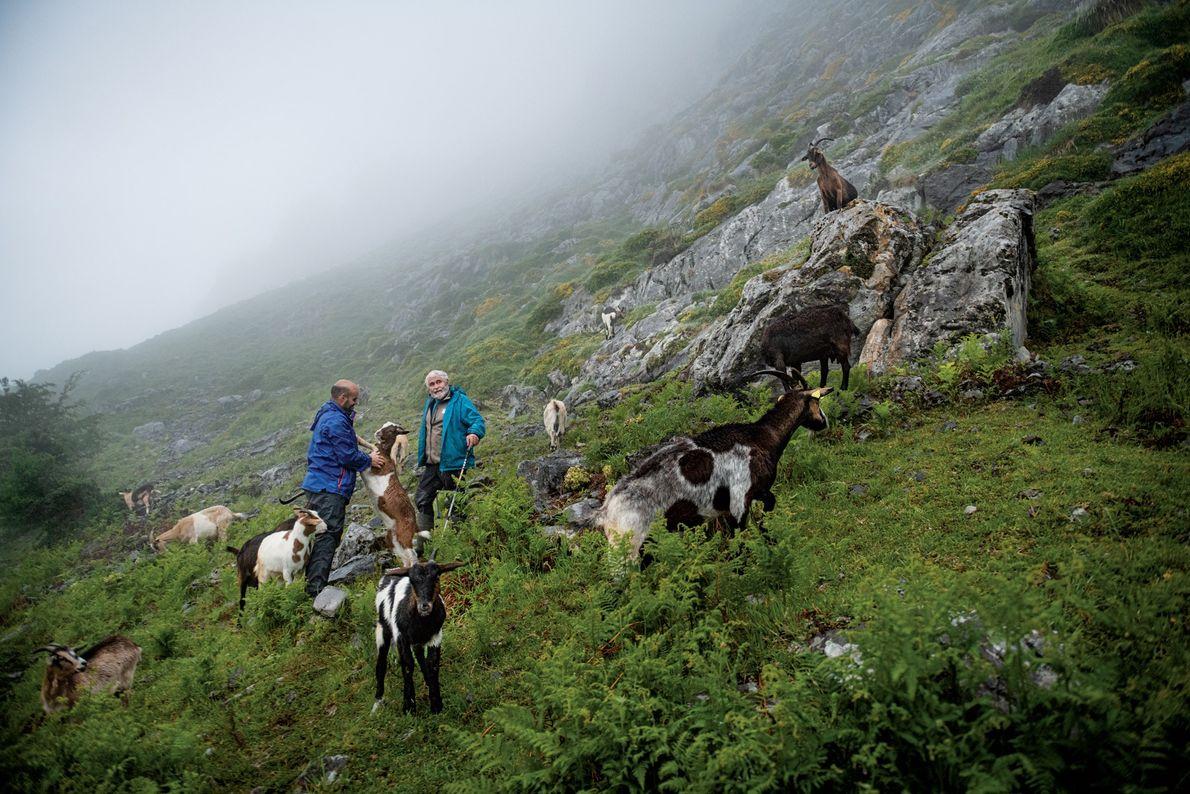 As Astúrias são uma terra de queijos, com dezenas de variedades artesanais, incluindo o famoso Cabrales. ...