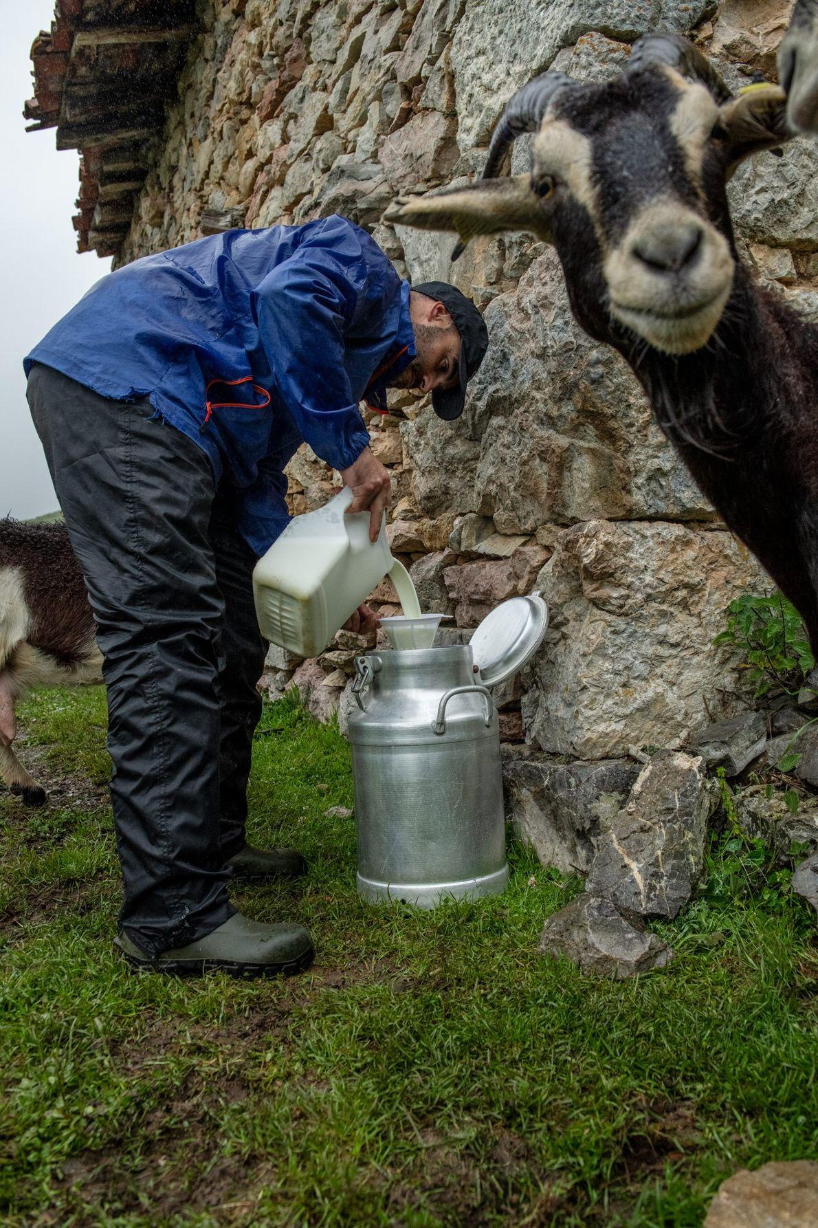 Diaz Bada mistura leite de cabra para fazer queijo, enquanto um membro curioso do seu rebanho ...