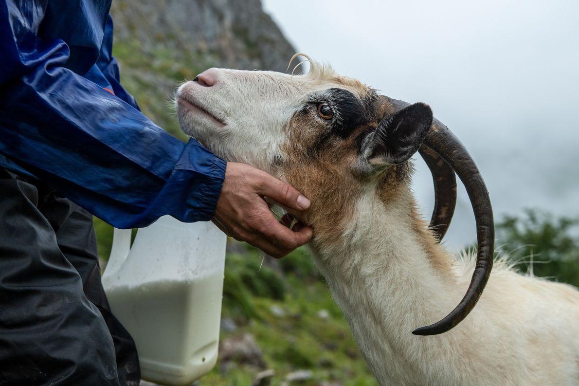 Diaz Bada faz uma pausa para acariciar uma das suas cabras.