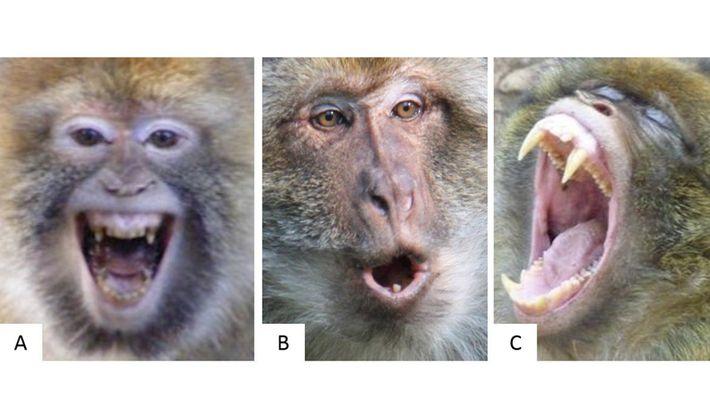 Conseguimos Detetar a Reação de Um Macaco Pela Sua Expressão Facial?
