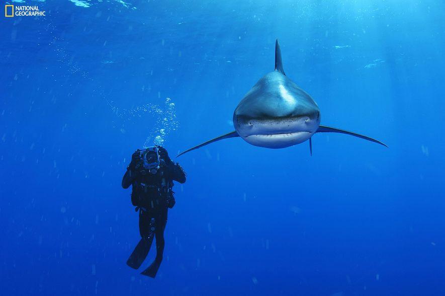 A primeira vez que estive na presença de um tubarão-de-pontas-brancas foi na Ilha do Gato, em ...